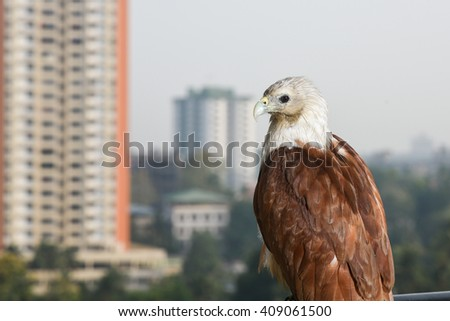Bald eagle on black. birds of prey. Eagle eyes. Eagle sitting in apartment balcony. Cause of deforestation, unsafe nesting place in city. Predator and scavenger bird. Indian wildlife bird - stock photo