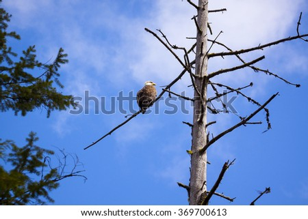 Bald Eagle on its Perch