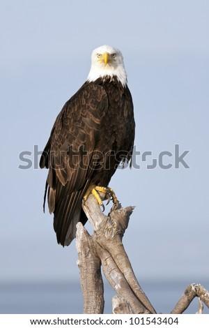 Bald Eagle on Perch - stock photo