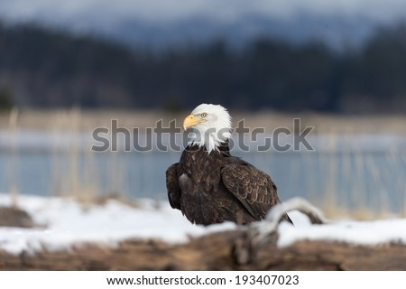 Bald Eagle on snow covered beach