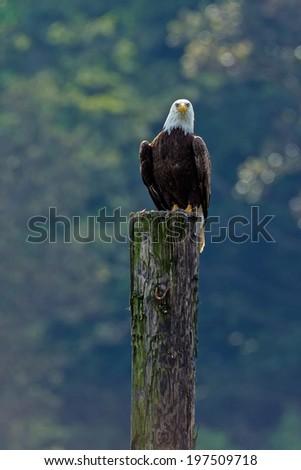 Bald eagle perched a pole - stock photo