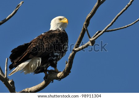 Bald Eagle Perched in Tree - stock photo