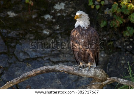 Bald eagle perched on a twig