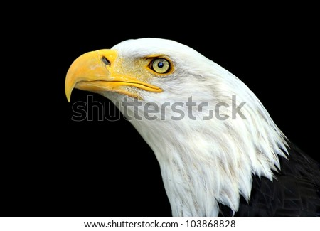 Bald eagle portrait on a black background - stock photo