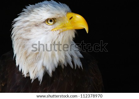 Bald eagle portrait on a dark background - stock photo
