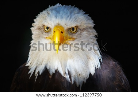 Bald eagle portrait on a dark background looking in the lens - stock photo