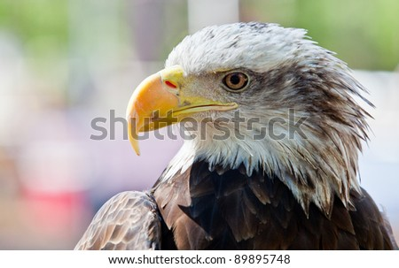 Bald Eagle Portrait Side View