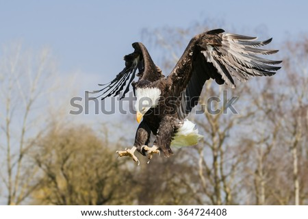 Bald eagle pouncing. A magnificent bald eagle has its talons extended as it is about to pounce on its target. - stock photo