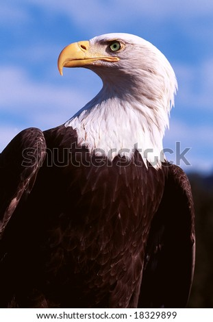 Bald Eagle profile portrait