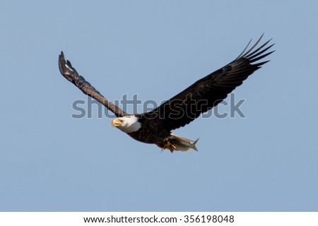 Bald Eagle returning to the next with fish