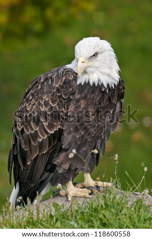 bald eagle sitting on rock in front of green shrubs - stock photo