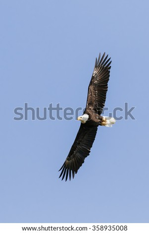 Bald eagle soaring high. A superb bald eagle soars overhead in a clear blue sky.