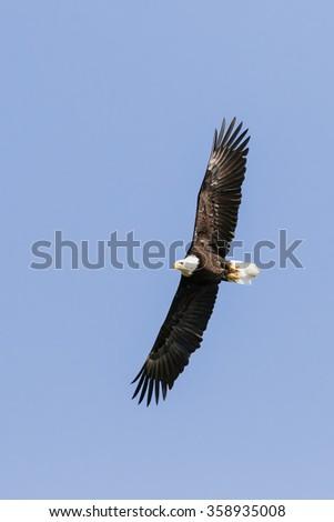 Bald eagle soaring high. A superb bald eagle soars overhead in a clear blue sky. - stock photo