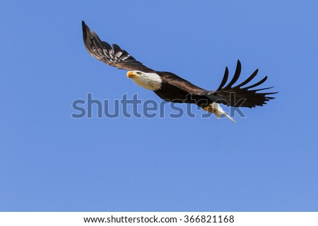 Bald Eagle soaring in blue skies. A majestic bald eagle makes a fine sight as it soars into a clear blue sky. - stock photo