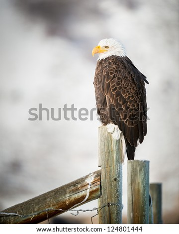 Bald Eagle standing on a fence, Grand Teton National Park, Wyoming - stock photo