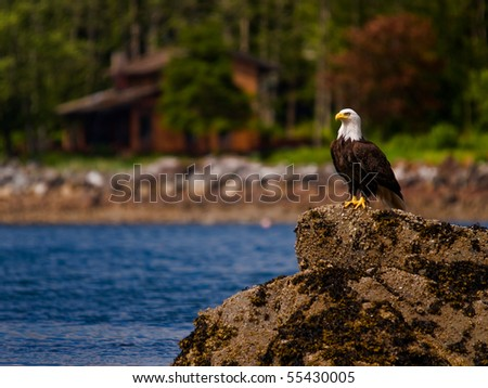 Bald Eagle standing watch - stock photo