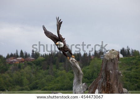 Bald Eagle Takes Flight from a dead stump perch