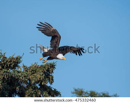 bald eagle taking flight from a tree with blue sky in Katmai National Park, Alaska