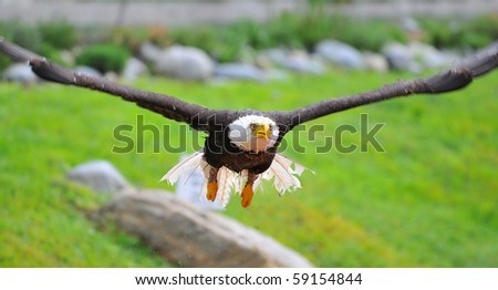 Bald eagle taking off from water trailing droplets - stock photo