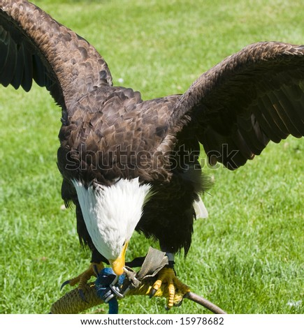 Bald Eagle tethered to the ground in a field - stock photo
