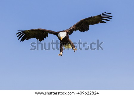 Bald Eagle with an eye for an opportunity. A magnificent bald eagle hangs in the sky as it eyes its next meal. - stock photo