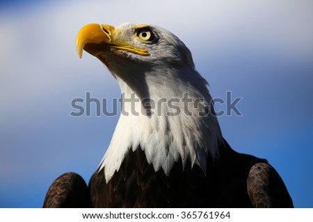 Bald Eagle with blue sky - stock photo