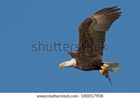 Bald Eagle with Fish in Flight  - stock photo