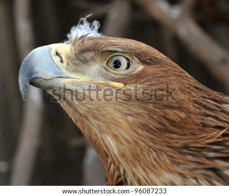 bald eagle with light on face - stock photo
