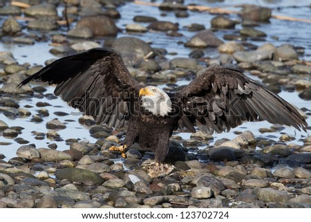 Bald Eagle with wings spread.