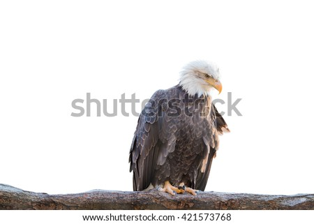 Bald feral eagle perched on a dry branch isolated on white background. Object with clipping path.