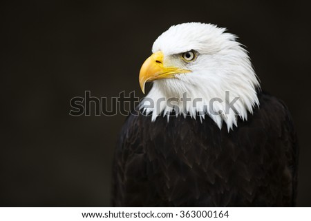 Bald headed eagle on dark background. - stock photo