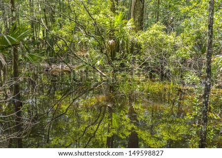 Bald Trees reflecting in the water in a florida swamp on a warm summer day