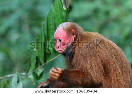 Bald Uakari, A red faced monkey sitting on top of a tree - stock photo
