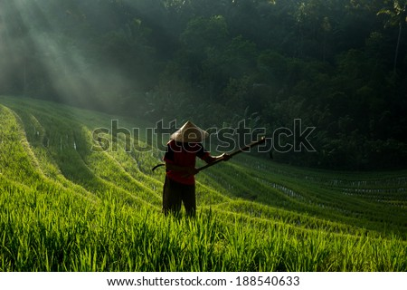 BALI - APRIL 12, 2014: An unidentified farmer works on his rice plants on the terraced rice fields in Bali, Indonesia. Rice is an important food source and grows well on fertile volcano soil.