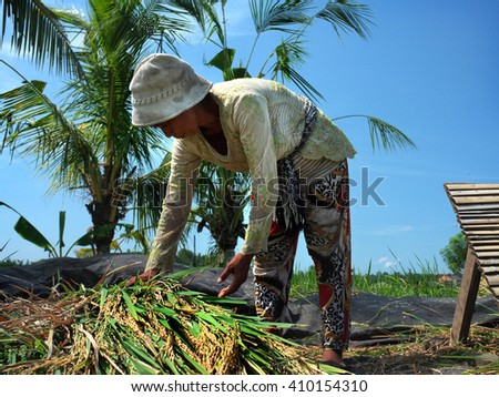 BALI, INDONESIA - APRIL 2016: A Balinese woman harvests a crop of rice in a rice field on April 24, 2016 in Ubud, Bali, Indonesia.