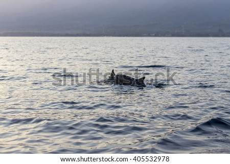 BALI, INDONESIA - APRIL 2016: Many tourists looking for dolphins at Lovina beach  in Bali, Indonesia. Popular activities for visitors include early-morning boat trips to see dolphins.
