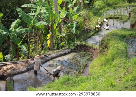 BALI, INDONESIA - JULY 7 2012: People working in a paddy field in the Island of Bali, Indonesia