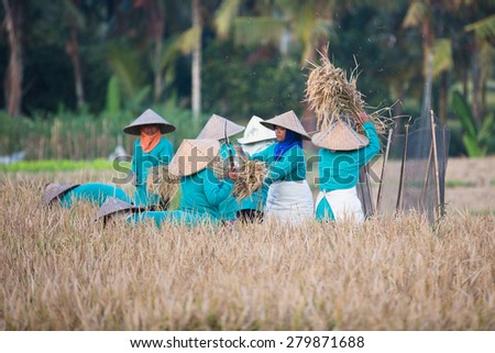 BALI, INDONESIA - JUNE 2, 2014: Asian women sifts rice at the rice field. - stock photo