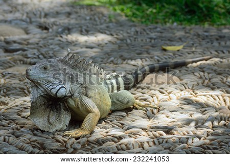 BALI, INDONESIA - NOVEMBER 11: Green iguana in Bali Reptile Park at November 11, 2014 in Bali, Indonesia. Iguanas are arboreal, mostly herbivorous species of lizards.