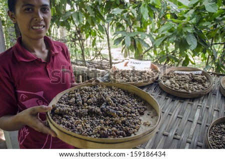 BALI, INDONESIA - OCTOBER 10, 2013: An unidentified woman displays a tray of civet cat poo containing digested coffee beans.  Once roasted, the coffee - known as Kopi Luwak - fetches very high prices - stock photo