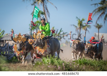 BALI, INDONESIA - SEPTEMBER 11: Traditional buffalo race known as Makepung held in Negara, Bali, Indonesia on September 11, 2016.