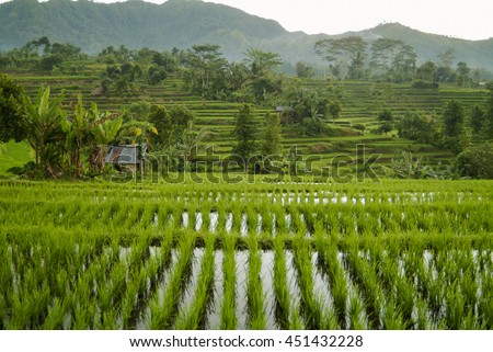 Bali Rice Field. The rice fields are flooded and new rice is planted. A shack provides a place for shade and rest during the heat of the day. The verdant green and terraced fields are scenic places. - stock photo