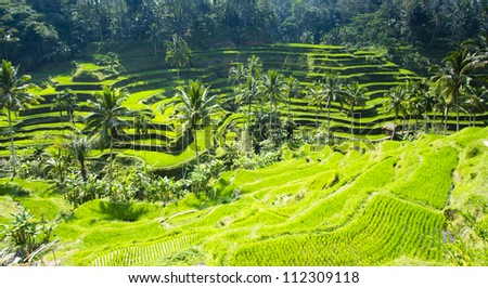 Bali rice terrace - stock photo