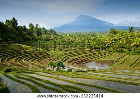 Bali Rice Terraces. Some of the most beautiful and dramatic rice fields can be viewed in the western part of Bali near a village called Belimbing. Steeply sloped hillsides aid irrigation techniques. - stock photo