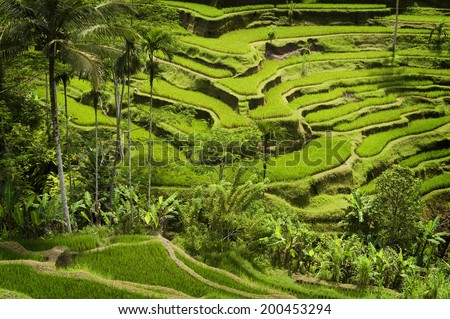 Bali Rice Terraces. The rice fields terrace are works of art. One of the nicest is the Tegallalang, which is about 15 minutes from the center of Ubud.  This method of irrigation is known as Subak. - stock photo