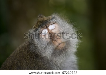 balinese monkey at ubud monkey forest - stock photo