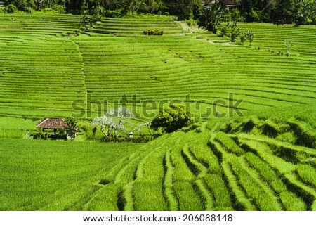 Balinese Rice Terraces. Some of the most beautiful and dramatic rice fields can be seen near the west Bali village of Belimbing. - stock photo