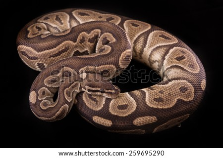Ball python or Royal python on black background, Cinnamon morph or mutation - stock photo