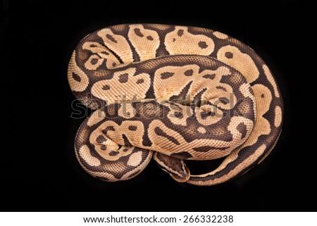 Ball python or Royal python on black background, Lemon Pastel morph or mutation - stock photo