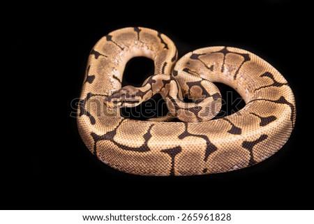Ball python or Royal python on black background, Spider morph or mutation - stock photo